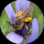 abeille_pollen2