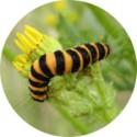 Plante hôte, la folle spécialisation du Papillon ?
