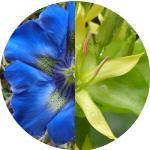Gentianes bleues, Gentiane jaune, un lien de parenté ?