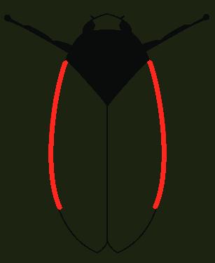 Haematoloma dorsata