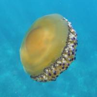 L'identification de la Méduse œuf au plat est aisée.