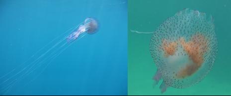 La Pélagie se reconnaît par ses reflets mauves. Ses tentacules peuvent s'allonger et se contracter.