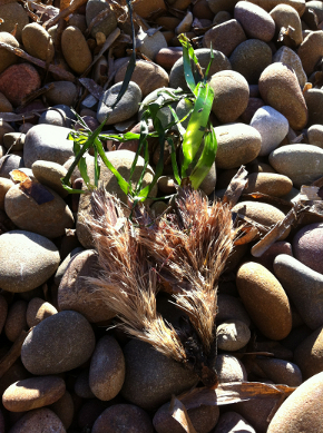 Faisceaux de Posidonie échoués sur la plage avec quelques feuilles encore vertes