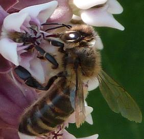 Abeille puisant le nectar avec sa langue