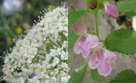 Fleurs d'Ombelle et de Mélitte à feuille de mélisse