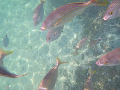 La Saupe (Sarpa salpa) fait partie du necton : elle se déplace activement, contrairement au plancton. Sa nage est facilitée par son profil hydrodynamique.