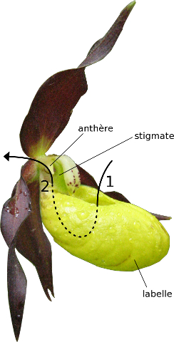 Sabot de v nus l 39 orchid e pi geuse la nature de pr s - Orchidee sabot de venus ...