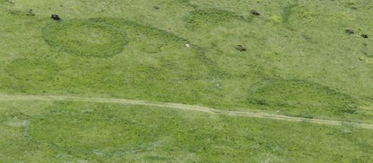 À l'ancien emplacement des carpophores, l'herbe reprend de la vigueur