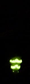 Segments lumineux du Ver-luisant femelle